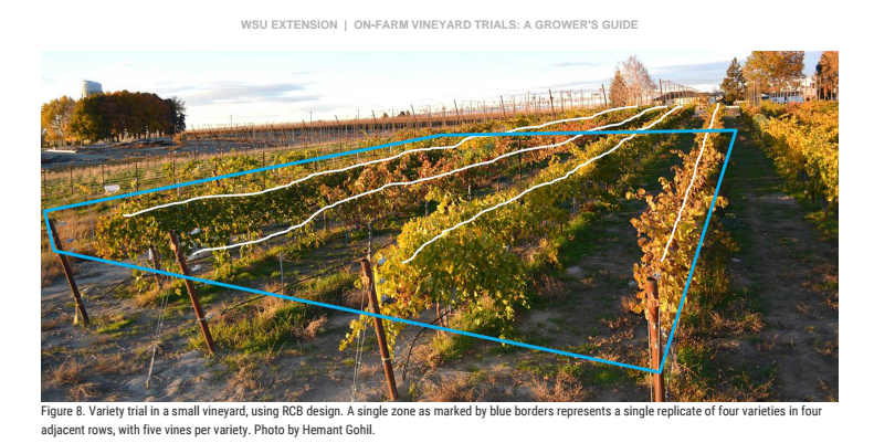 Figure 8. Variety trial in a small vineyard, using RCB design.