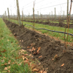 Hilling-Up to Prevent Winter Injury in Vineyards