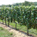 Pre-Emergence Weed Control in Vineyards