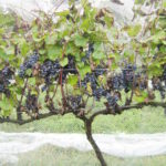Winemaking Strategies for Rainy Vintages